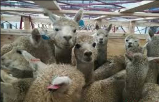 Australian alpacas settle down in Shanxi