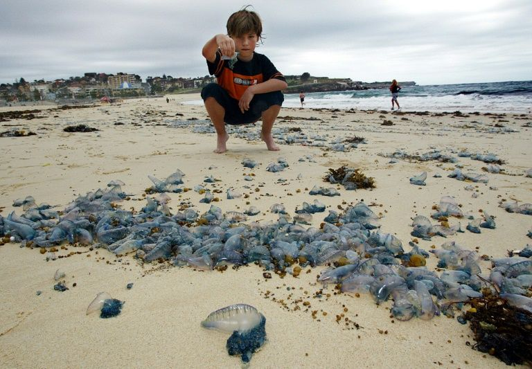 Thousands stung in Australian jellyfish 'invasion'