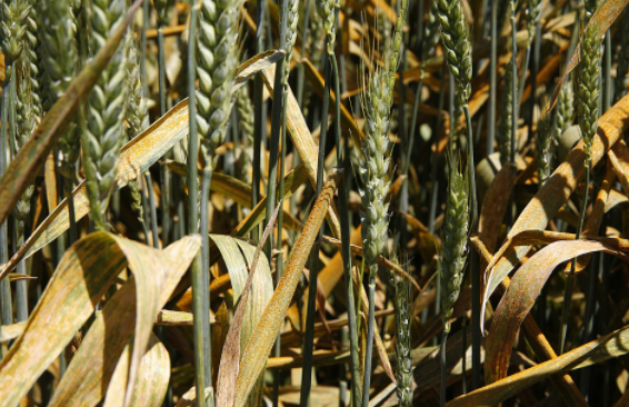 Israeli researchers discover proteins that may cure wheat rust disease