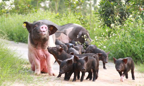 China's native pig species on sharp decline in face of foreign pork onslaught