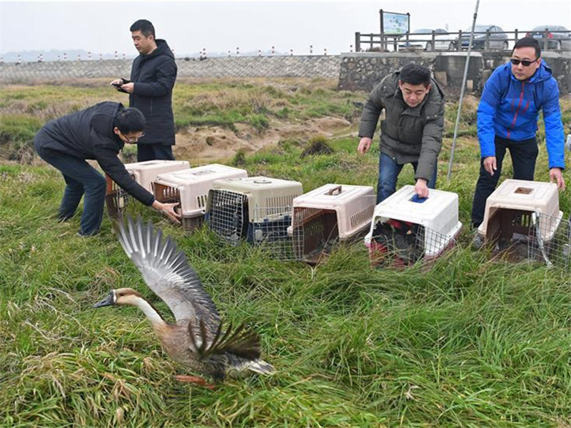 16 rare migrant birds released into wild
