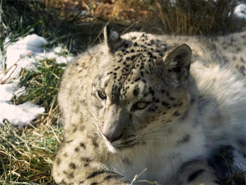 First snow leopard bred in captivity enjoys winter sun