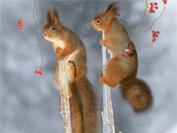 Ice pole dancing? Red squirrels on the hunt