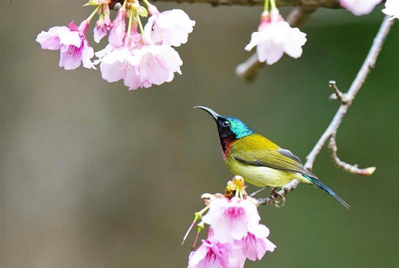 Sunbird gathers honey at Fuzhou National Forest Park in Fujian