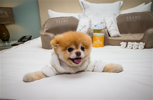 The world's cutest dog, Boo, dies at age 12
