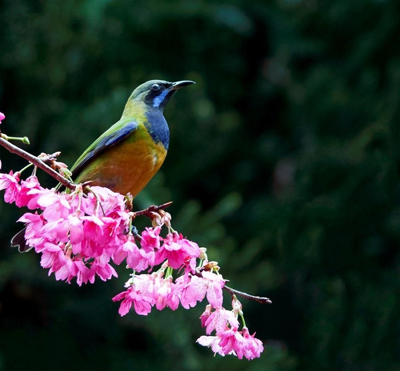 Leafbird gathers honey from cherry flowers in Fuzhou, China's Fujian