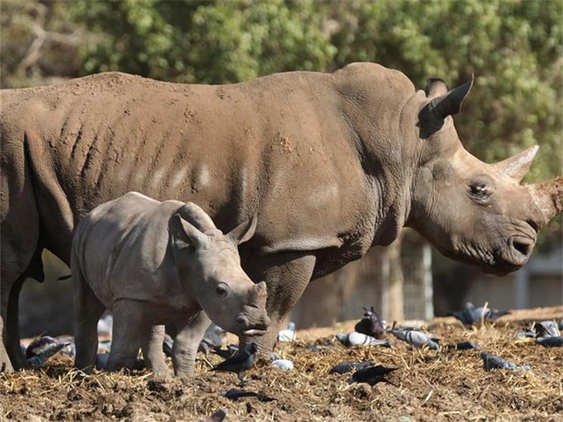 3-week old white rhinoceros seen in Ramat Gan, Israel