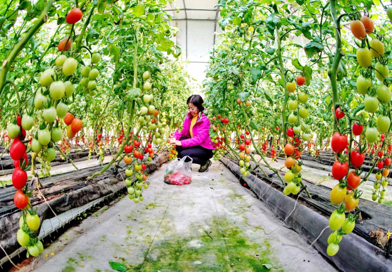 Greenhouse agriculture boosts rural economic development in Hebei