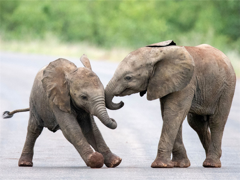 Baby elephants play together at South Africa's Kruger National Park