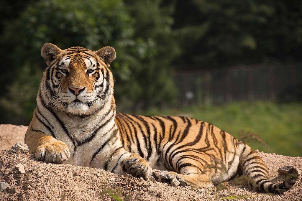 Injured wild tiger rescued in northeast China