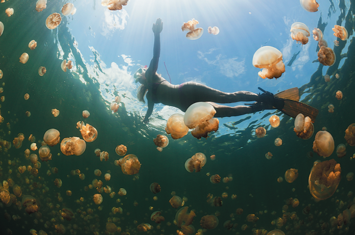 Ban lifted, swimmers return to bathe with Palau's golden jellyfish