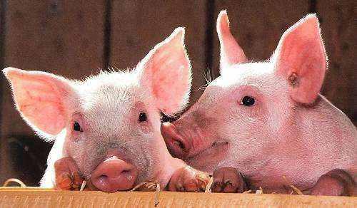 African swine flu under control