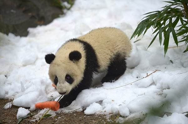 Research reveals giant pandas' more diversified diet 5,000 years ago