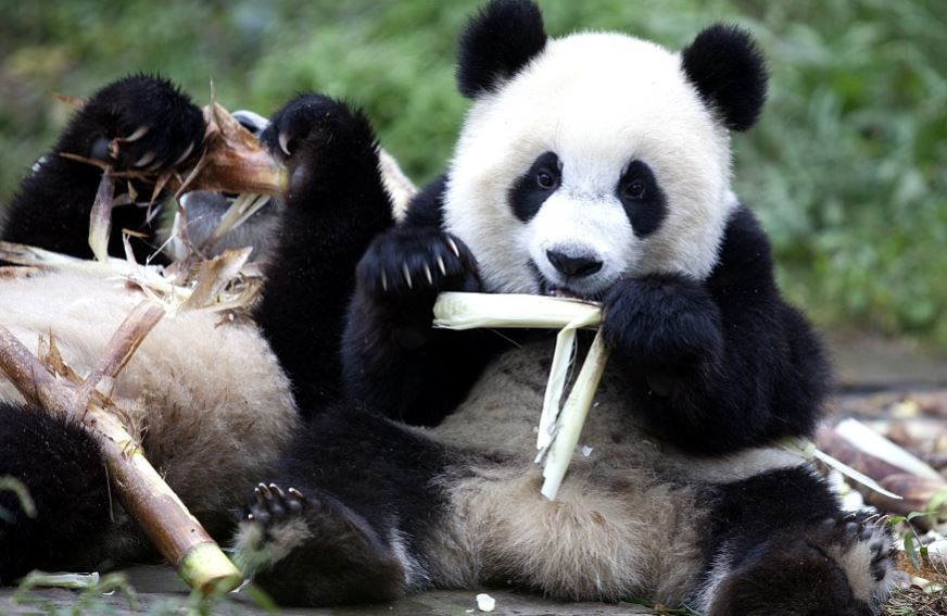 What did giant pandas eat 5,000 years ago?