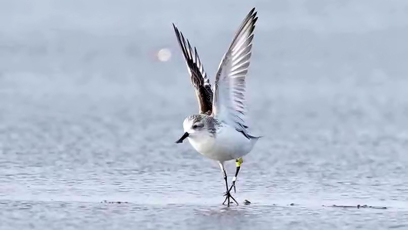 Coastal area revival boosts arrival of a critically endangered bird in China