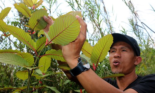 Miracle treatment or dangerous drug? Indonesia cashes in on Kratom