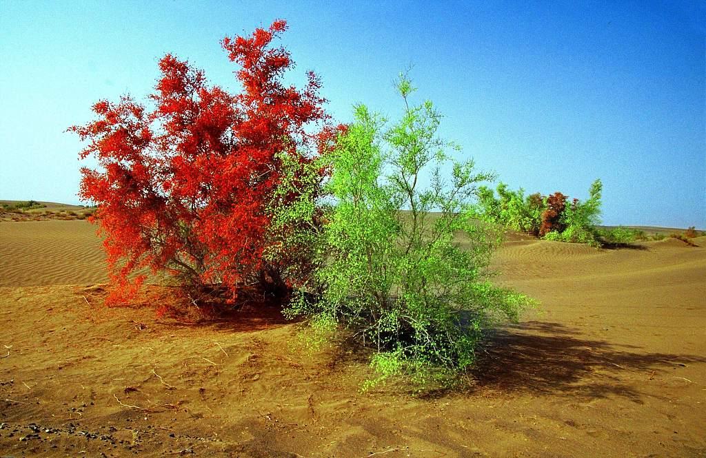 Chinese botanist opens plant 'bank' in desert