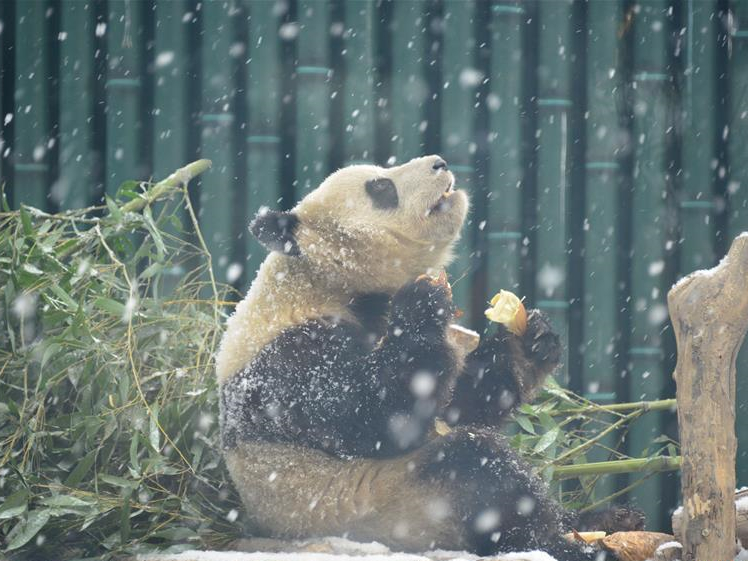 Giant pandas at Beijing Zoo play in snow