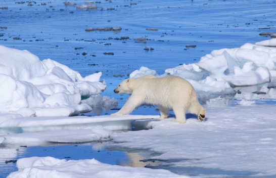 Polar bears invade Russian town; locals delighted but wary