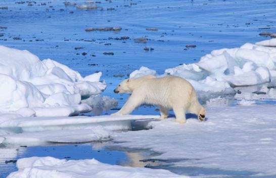 polar bears xinhua.png