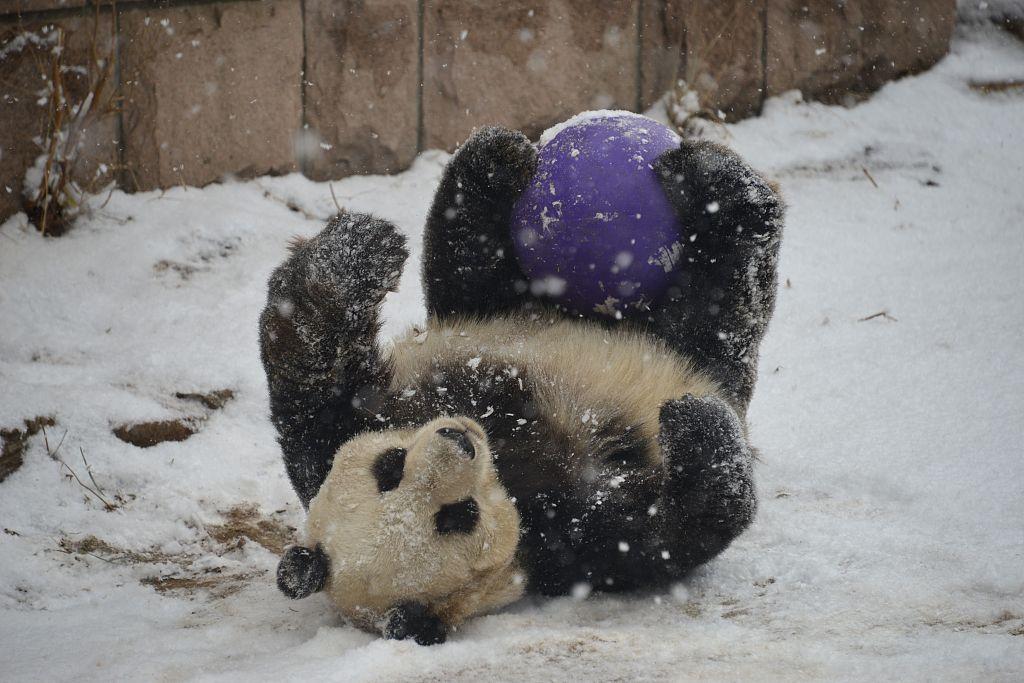 Giant panda enjoys snowfall in Beijing