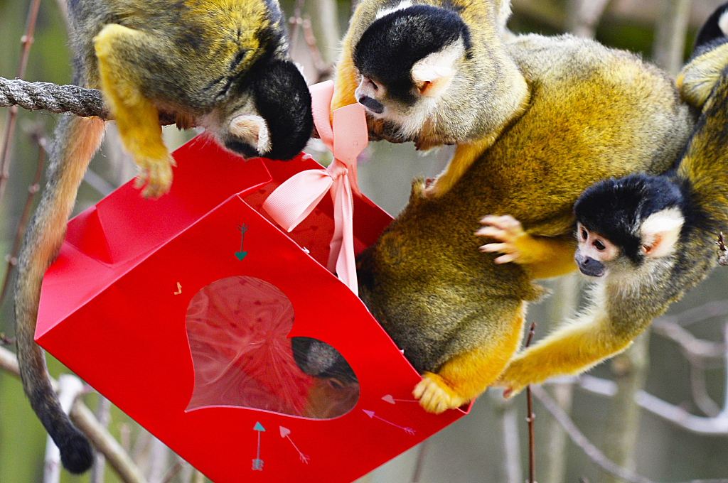 Squirrel monkeys at the London Whipsnade Zoo get their Valentine's Day treats