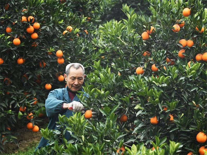 Navel orange industry becomes pillar industry in China's Fengjie County