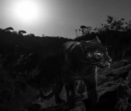 African black panther captured on camera for first time in over a century
