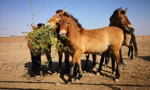 Xinjiang center brings Przewalski's horse back from brink of extinction