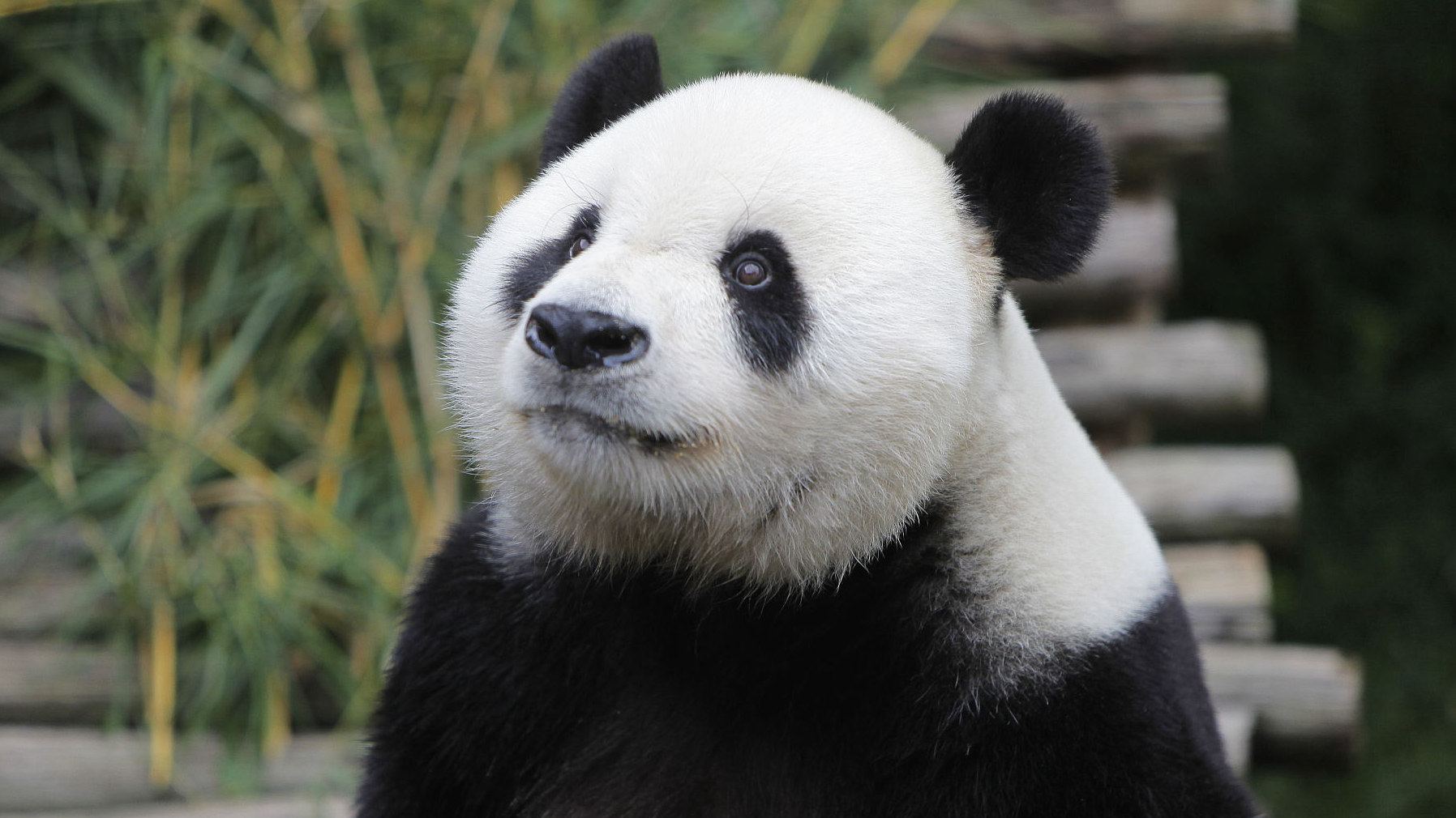'Giant panda fever' spreads in Indonesia