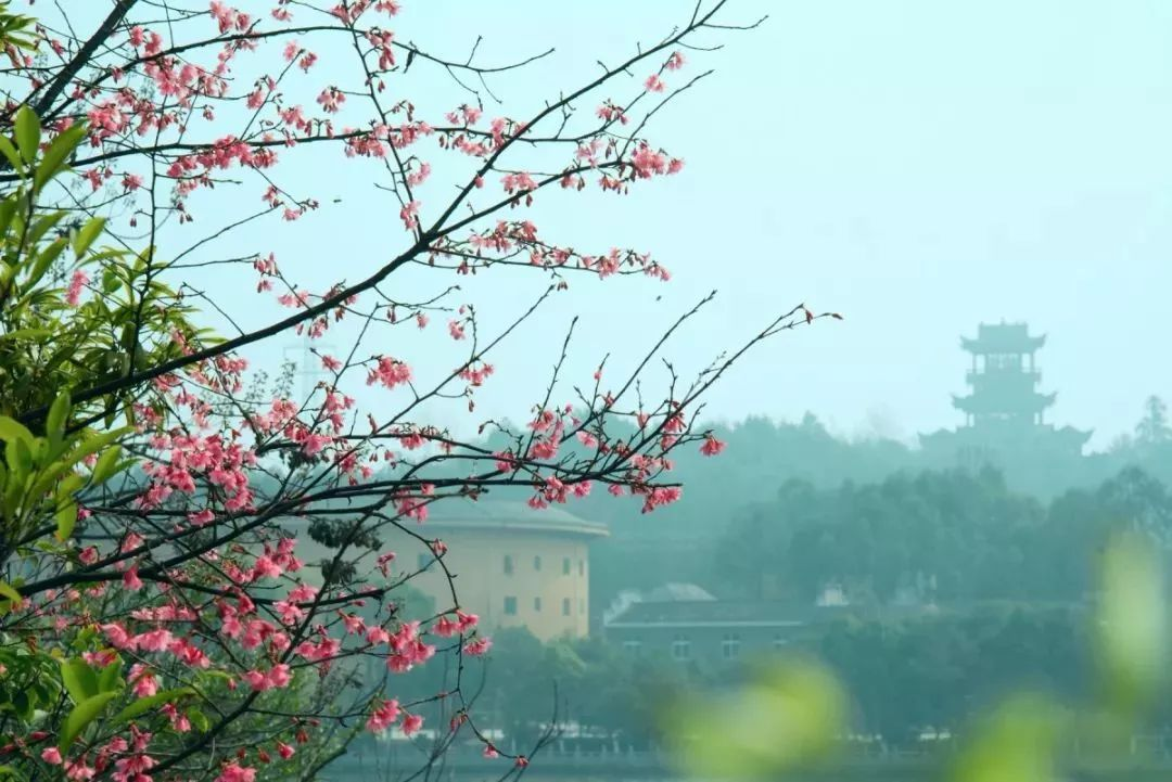 Flourishing cherry blossoms create sea of colors in east China's Jiangxi Province