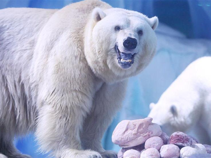 Polar bears celebrate Chinese Lantern Festival by enjoying 'sweet dumplings' in Shanghai