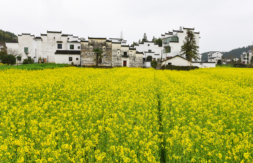 Early spring's rape flowers in East China's Jiangxi Province