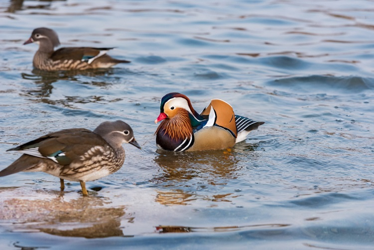 Hundreds of mandarin ducks, wild ducks chill in Beijing's Yuyuantan Park