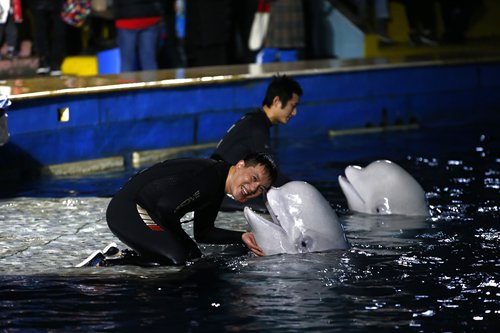 Shanghai's star whales prepared to move to Iceland sanctuary