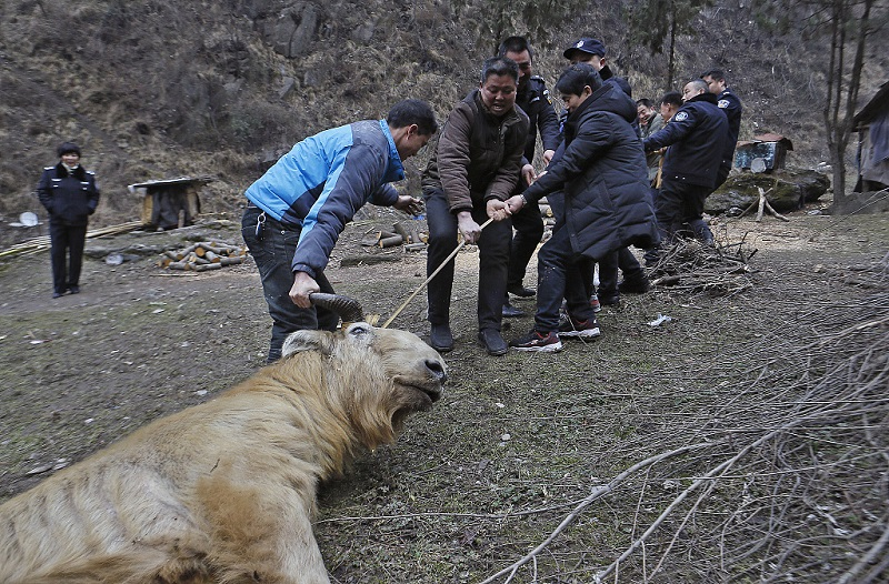 Villagers rescue a golden-haired takin in Xi'an