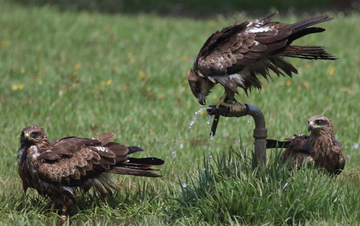 Eagles try to quench thirst at lawn
