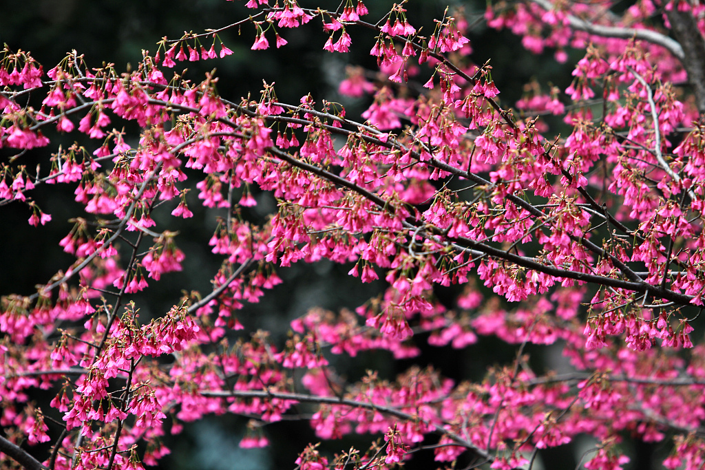 Wuhan University's cherry blossoms attract visitors