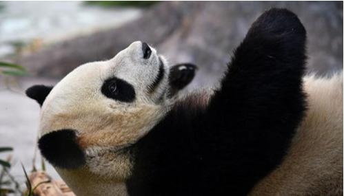 Northwest China's Gansu to build giant panda national park