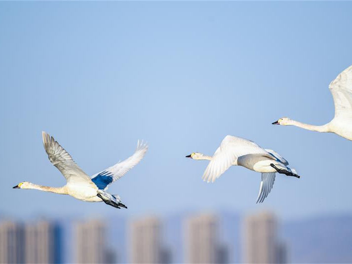 Swans spotted at Yellow River wetland in China's Inner Mongolia