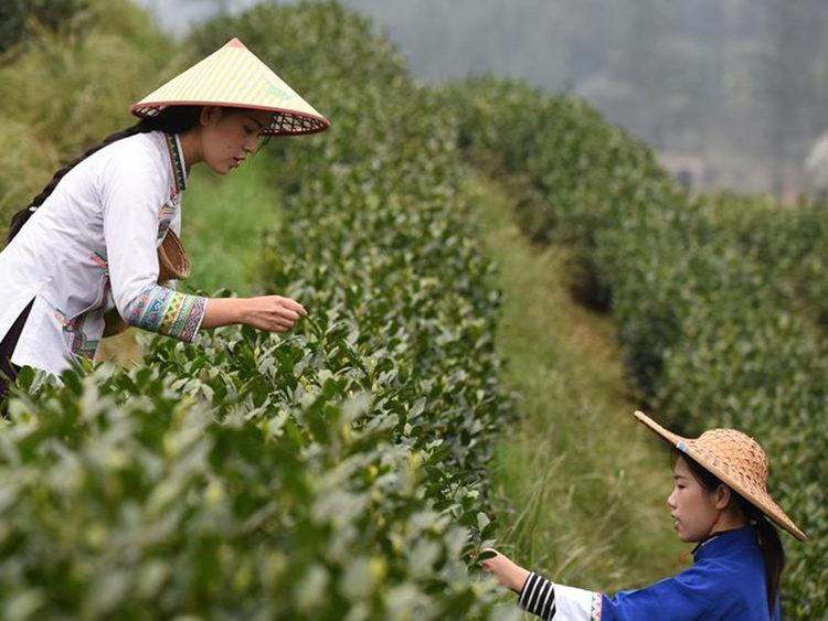 Farmers work at tea garden in China's Guizhou Province