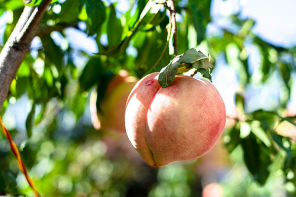 Research on peach evolution provides reference for future breeding
