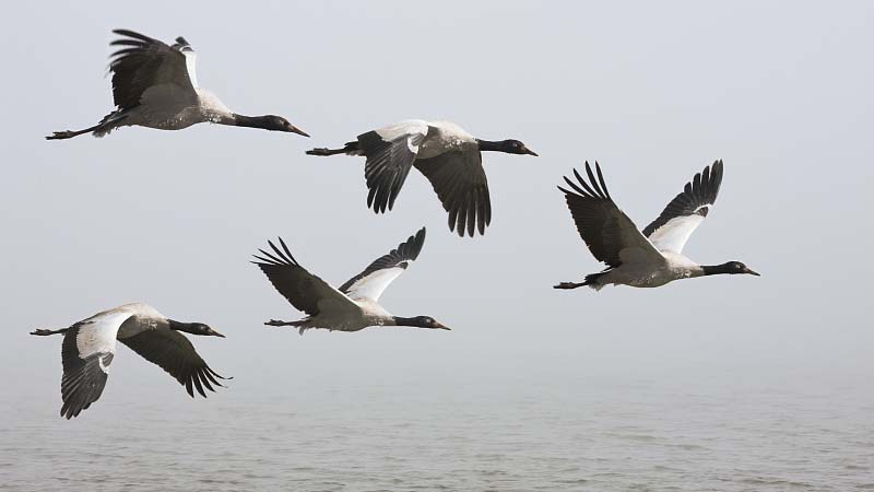 Rare black-necked cranes begin return migration to N China