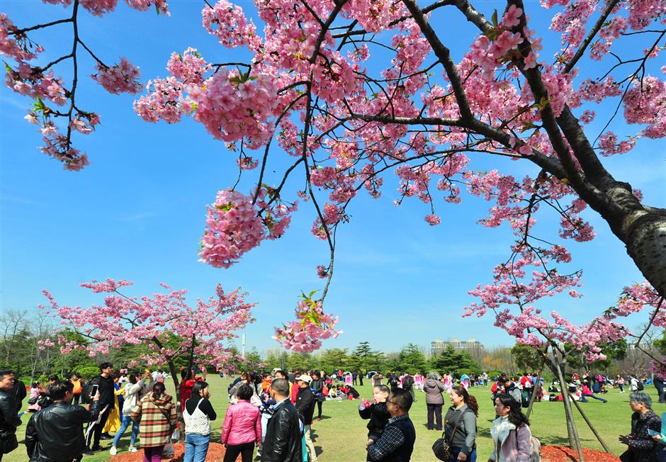 Cherry blossom festival is popular