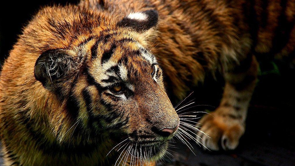 Facts about critically endangered South China tiger