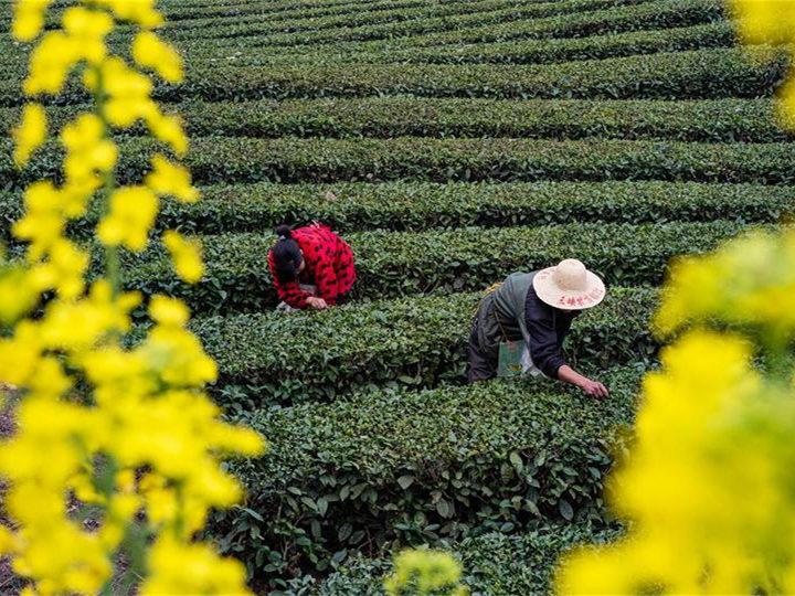 In pics: farmers pick tea leaves across China