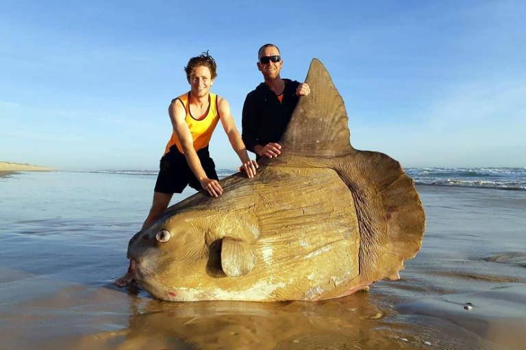 Boulder-sized sunfish washes ashore in Australia