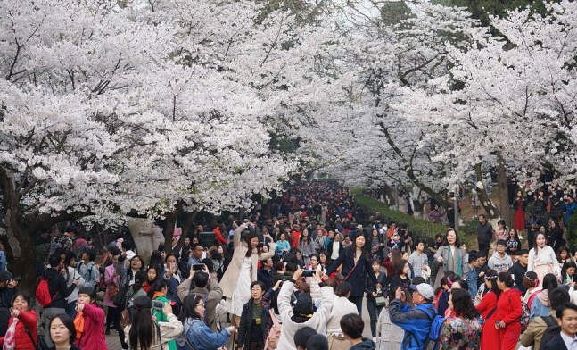 First 5G livestreaming of cherry blossoms in Wuhan