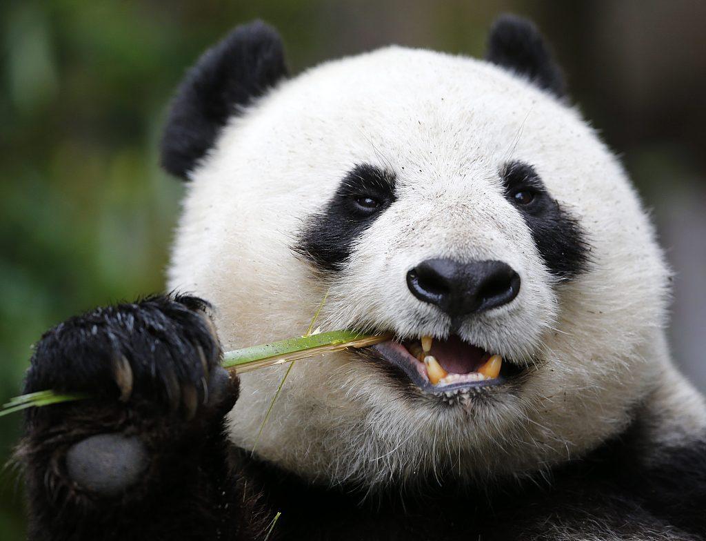 San Diego Zoo to bid farewell to giant pandas in April
