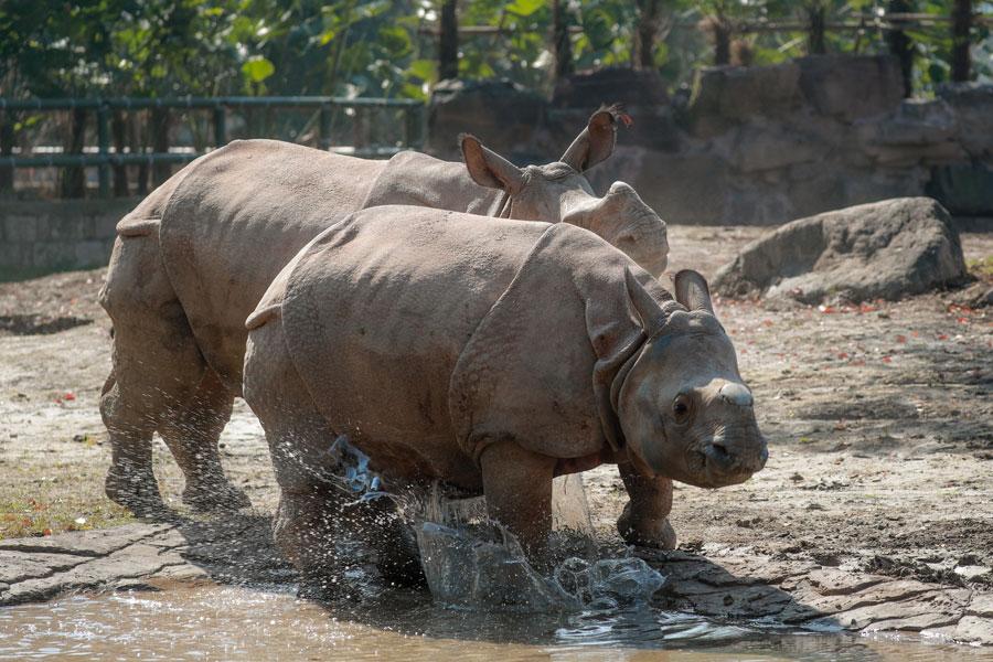 Rare Asian rhino makes public debut at Shanghai wild animal park